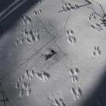 Rabbit tracks in snow.